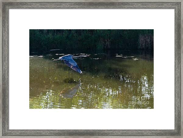 Heron Flight Framed Print