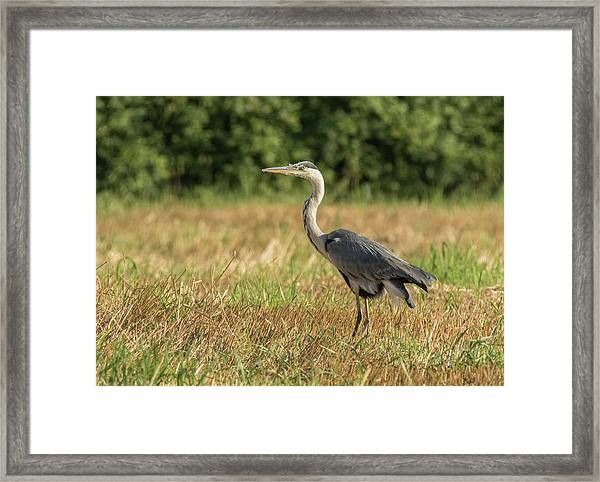 Heron In The Field Framed Print