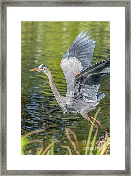 Heron Liftoff Framed Print