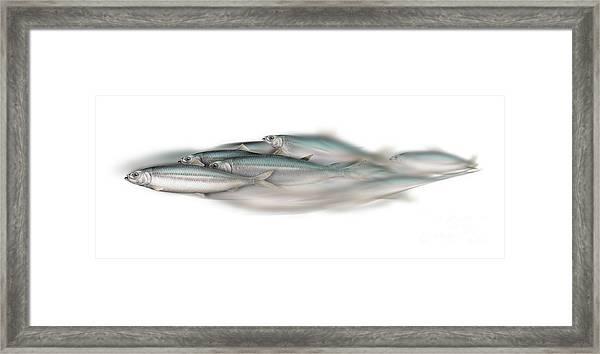 Herring School Of Fish - Clupea - Nautical Art - Seafood Art - Marine Art - Game Fish Framed Print