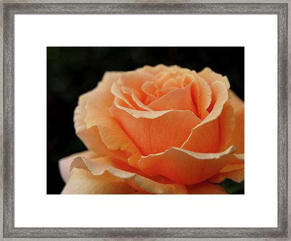 Hever Castle Peach Rose Framed Print