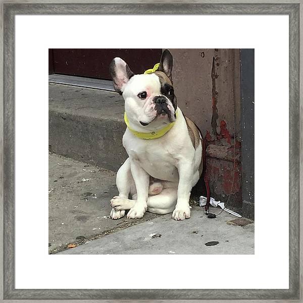 Hey, #bulldog! #harlem #nycdogs #nyclife Framed Print by Gina Callaghan