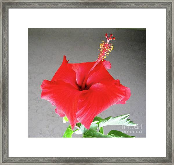 Hibiscus #1 Framed Print