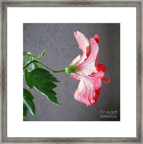 Hibiscus #4 Framed Print