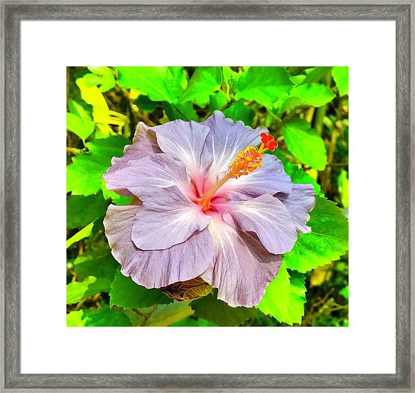 Hibiscus Adele 1 Framed Print
