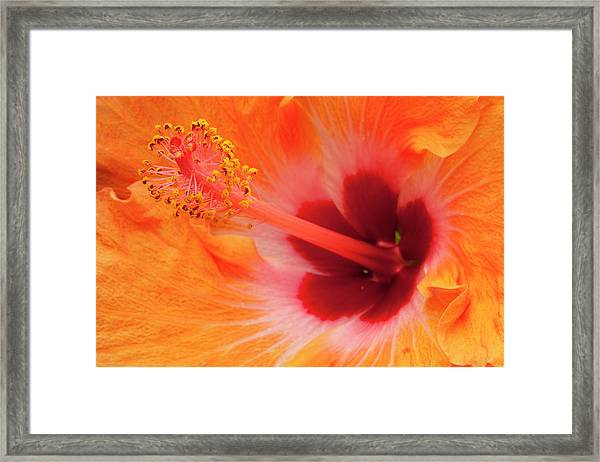 Hibiscus Close-up Framed Print