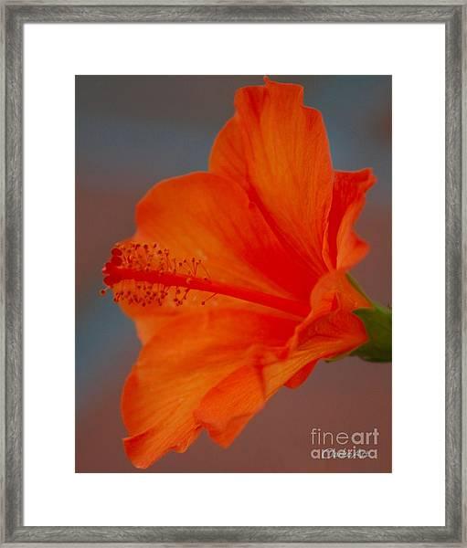 Hot Orange Hibiscus Framed Print