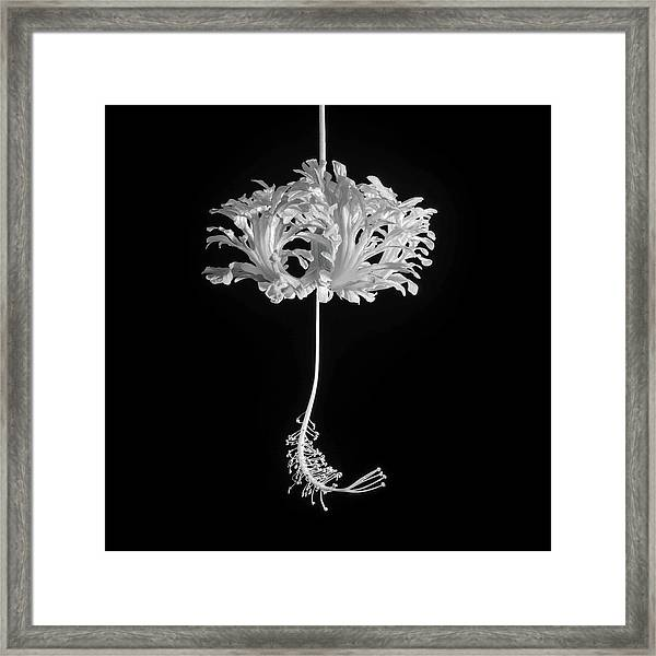 Hibiscus Schizopetalus Against A Black Background In Black And White Framed Print