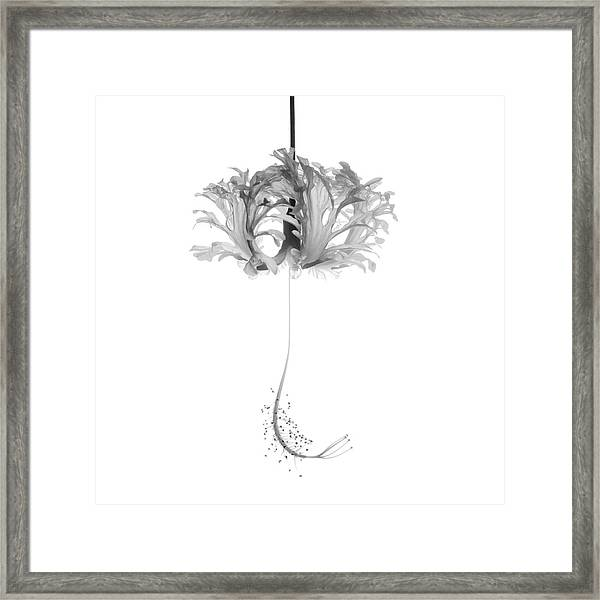 Hibiscus Schizopetalus Against A White Background In Black And White Framed Print