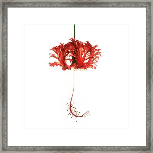 Hibiscus Schizopetalus On White Framed Print