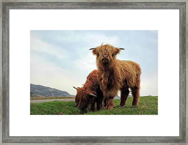Highland Cow Calves Framed Print