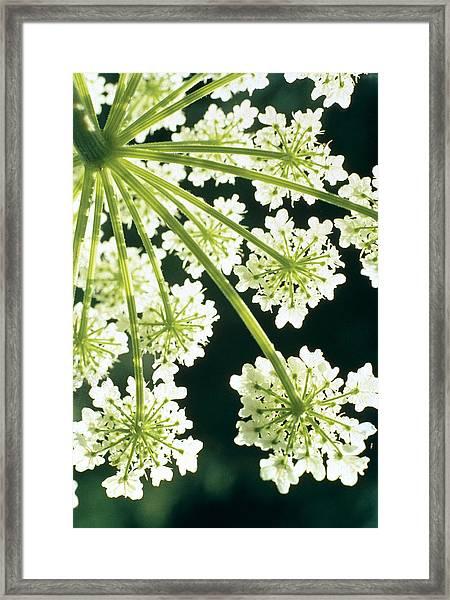 Himalayan Hogweed Cowparsnip Framed Print