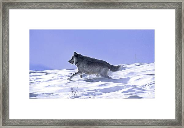 His Majesty Druid Wolf 21m Framed Print