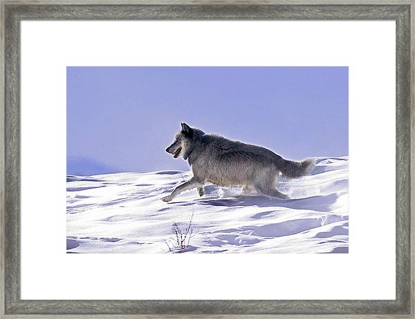 His Majesty Wolf 21m Framed Print