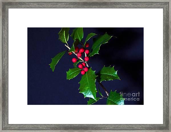 Holly Framed Print by Robert Pilkington