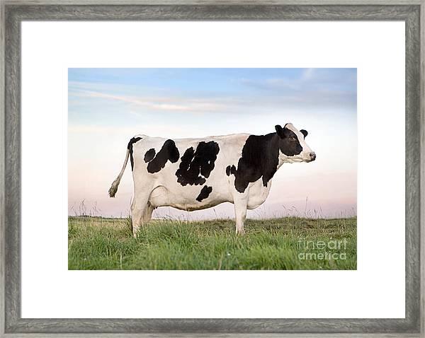 Holstein Dairy Cow Framed Print