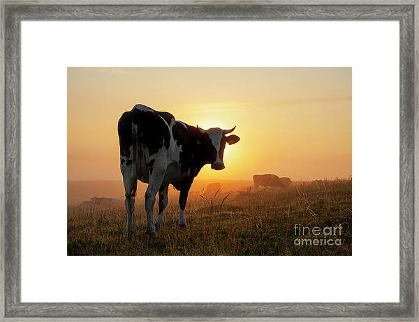 Holstein Friesian Cow Framed Print