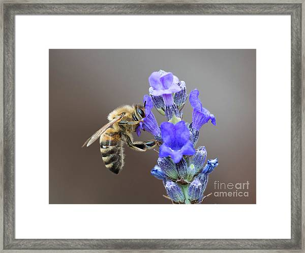 Honey Bee - Apis Mellifera - Feeding On Lavender Framed Print