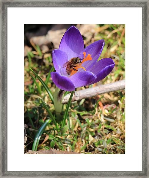 Honey Bee On Crocus  Framed Print