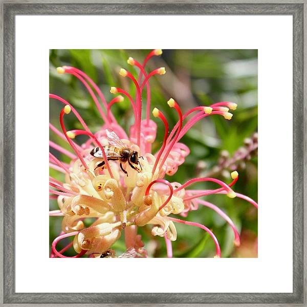 Honey Bee On Grevillea  Framed Print