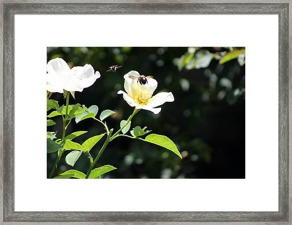 Honey Bees In Flight Over White Rose Framed Print