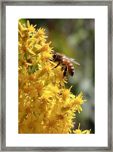 Honeybee On Showy Goldenrod Framed Print