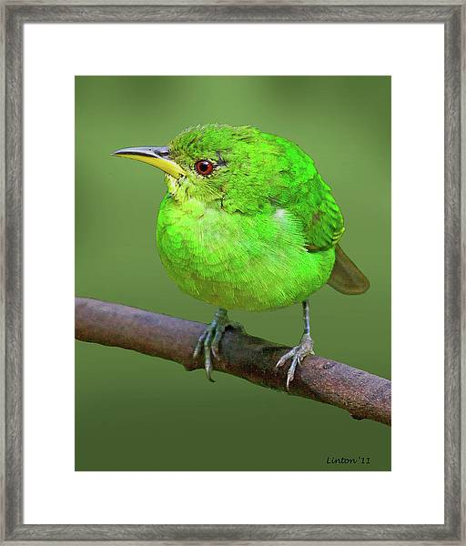 Honeycreeper Framed Print