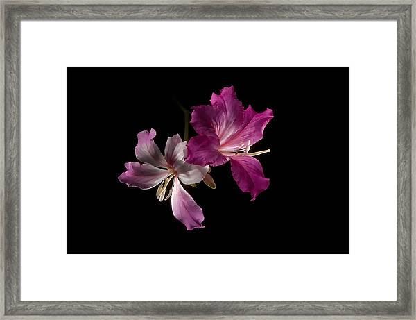 Hong Kong Orchid 4 Framed Print