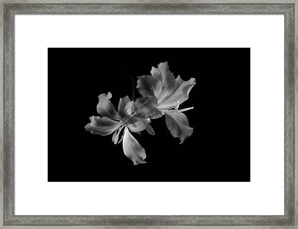 Hong Kong Orchid 4b Framed Print