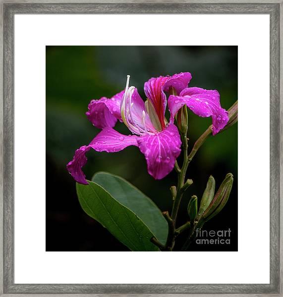 Hong Kong Orchid Framed Print