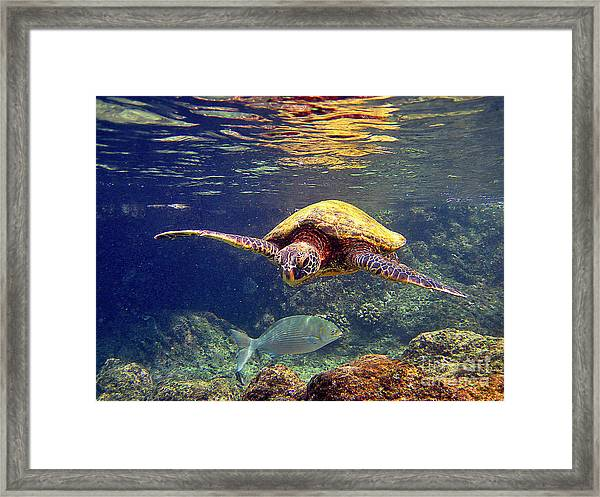 Honu With Reef Fish Framed Print