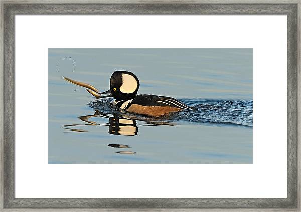 Framed Print featuring the photograph Hooded Merganser And Eel by William Jobes