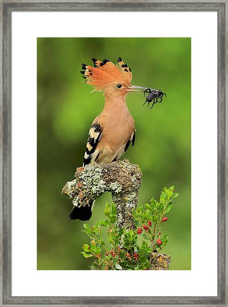 Hoopoe With Spider Framed Print by Andres Miguel Dominguez