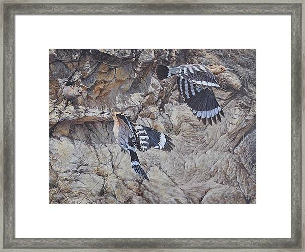 Hoopoes Feeding Framed Print