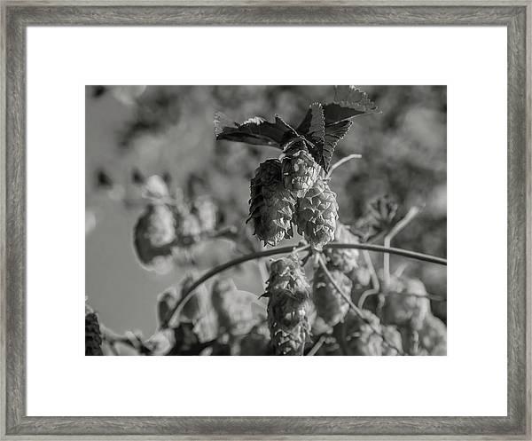 Hops Framed Print