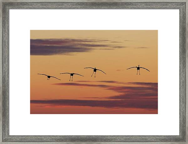 Horicon Marsh Cranes #4 Framed Print