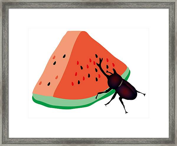 Horn Beetle Is Eating A Piece Of Red Watermelon Framed Print