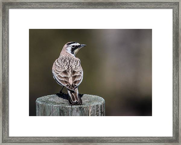 Horned Lark Framed Print