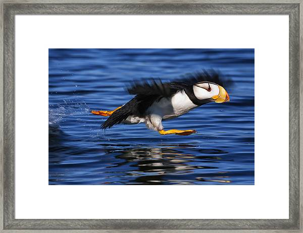 Horned Puffin  Fratercula Corniculata Framed Print
