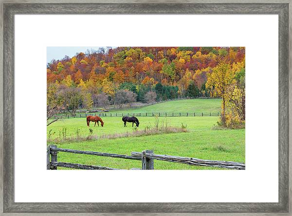 Horses Contentedly Grazing In Fall Pasture Framed Print
