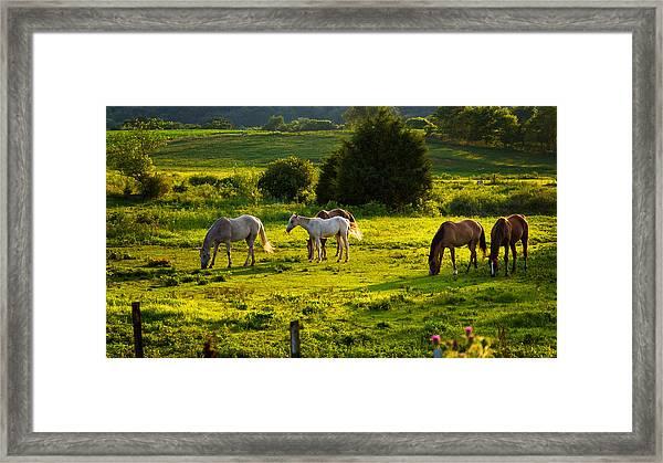 Horses Grazing In Evening Light Framed Print