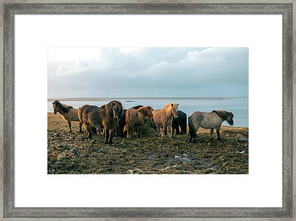 Horses In Iceland Framed Print