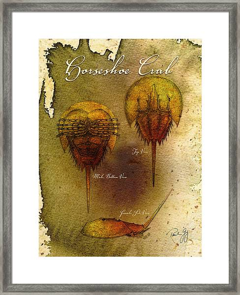 Horseshoe Crab Framed Print by Paul Gaj