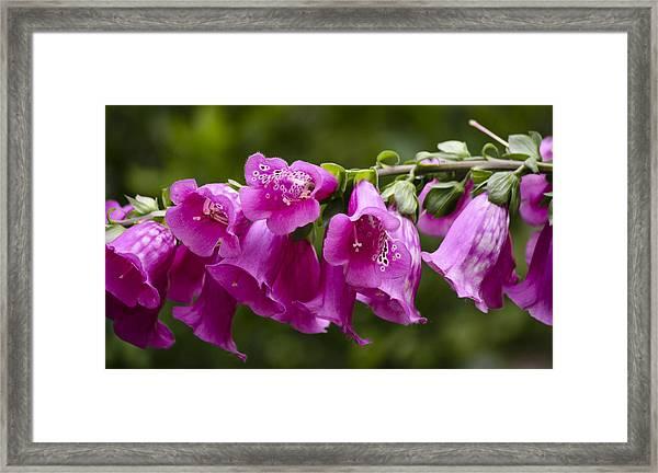 Hot Pink Foxglove Framed Print