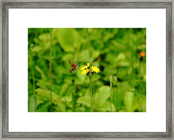 Hover And Hum Framed Print