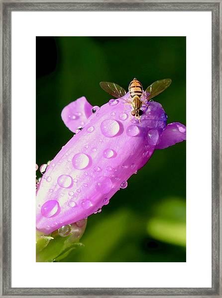 Hoverfly On Pink Flower Framed Print
