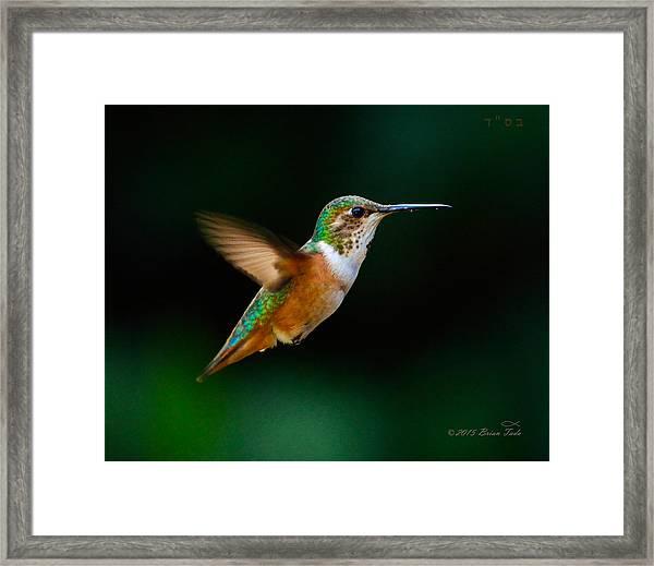 Hovering Allen's Hummingbird Framed Print