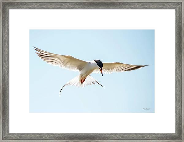 Hovering Tern Framed Print