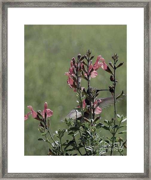 Hummingbird 1 Framed Print