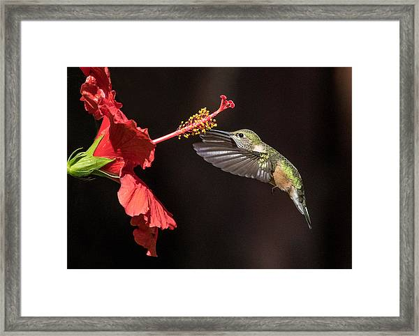 Hummingbird And Hibiiscus Framed Print